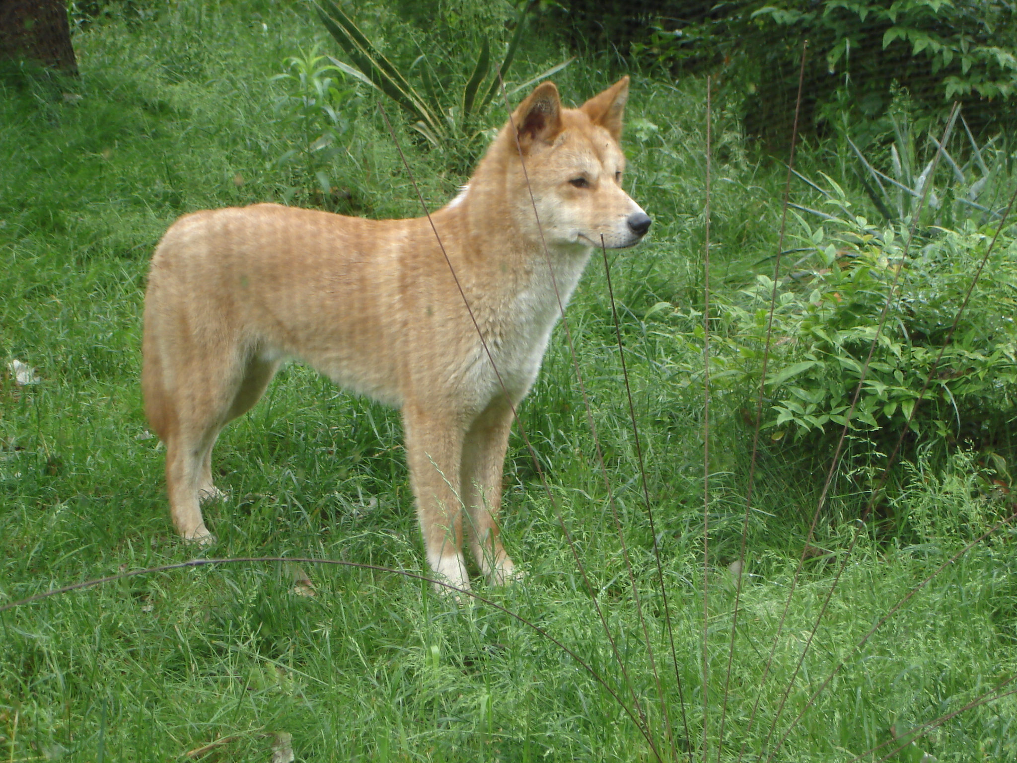 prospect park zoo welcomes four dingoes to its australian walkabout